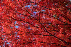 Background Japanese Maple Tree in Autumn Royalty Free Stock Photography
