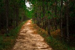 Background of landsacpe forest path pine tree. Forest path through pine tree at morning sand road Stock Photos