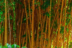 Background - bamboo trunks. Background, landscape - lively yellow bamboo trunks, mature stalks of a bamboo grove royalty free stock photography