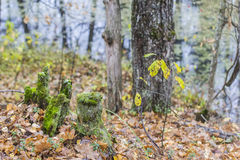 Background landscape old moss-covered stump Royalty Free Stock Photo