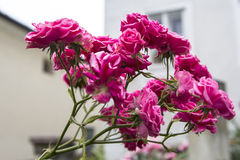 Background landscape trellis branch beautiful pink roses Stock Photo