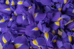 Background large blue flowers irises stock photography