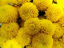 Background of a large bouquet of yellow chrysanthemums Royalty Free Stock Photo