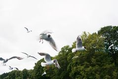 A background with a large group flock of seagulls flying over wi royalty free stock image
