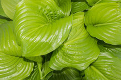 The Background of large leathery leaves Royalty Free Stock Photography