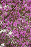 Background of a large number of flowers maralnik pink royalty free stock images