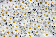 Background of  large number white chrysanthemums Royalty Free Stock Image