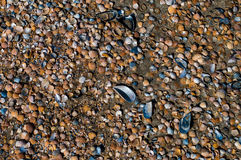 Background of large and small sea shells. Stock Image