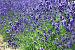 Background of lavender flowers royalty free stock image