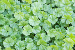 Background of a lawn with the dwarf mallow Royalty Free Stock Photography