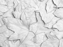 background leaf maple sycomore Royaltyfri Foto