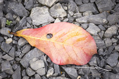 Background leaf on rock floor,Red leaf,Top view and Zoom in. Royalty Free Stock Images