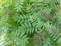 Background from  leaves of acacia Stock Photo