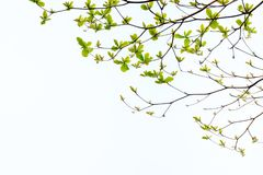 The background of leaves and branches across each other. On white space Stock Image