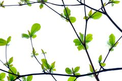 The background of leaves and branches across each other. On white space Royalty Free Stock Photo