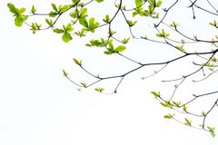 The background of leaves and branches across each other. On white space Royalty Free Stock Photography