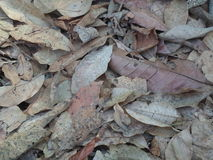Background leaves. Dry natural brown. Many of the leaves that gather on the ground as well Stock Images