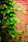 Background from leaves of grapes Royalty Free Stock Photos