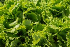 Background of leaves of growing ripe green crisp-head lettuce, top view. Vegetable garden. Background of leaves of growing ripe green crisp-head lettuce, top stock photo