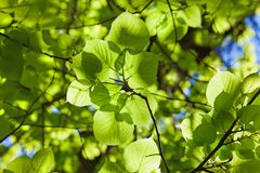 Background from leaves of  linden Royalty Free Stock Photography