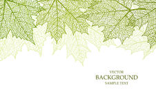 Background and leaves of a maple. For design vector illustration