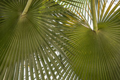 Background leaves palm leaves Royalty Free Stock Images