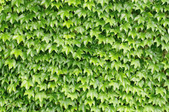 Background, leaves,texture. Background, texture, vegetation - green leaves Stock Images