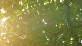 Background of the leaves of the tree and sunlight. stock video