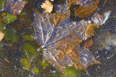 Background . Leaves under the ice . Royalty Free Stock Image