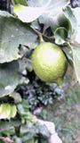 Background  lemon tree. Lemon tree in argentina patagonia Royalty Free Stock Photos