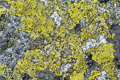 Background from lichens Royalty Free Stock Photo