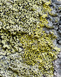 Background from lichens Stock Image
