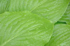Background is light green with drops of rain water on the large leaves of plant Stock Photos