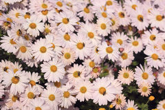 Background of light pink daisy Royalty Free Stock Photo