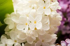 Background of lilac close-up Stock Image