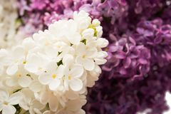 Background of lilac close-up Royalty Free Stock Image