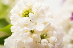 Background of lilac close-up Stock Photography