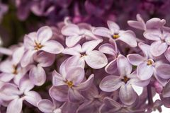 Background of lilac close-up Stock Photos