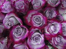 Background of lilac and crimson roses close-up Stock Photos