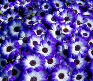 Background of lilac daisy Royalty Free Stock Photography