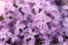 Background of lilac flowers Stock Image