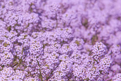 Background of lilac flowers Royalty Free Stock Images