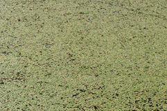 Background of lily pads lush green texture Stock Image