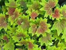 Lime Green And Burgundy Geranium Leaves royalty free stock photography