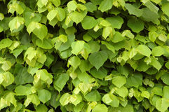 Background of a Lime Tree. A background image of leaves on a lime tree stock images