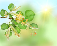 Background of a linden garden stock image