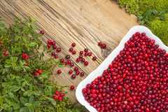 Background with lingonberries on old rustic wooden board and moss Stock Image