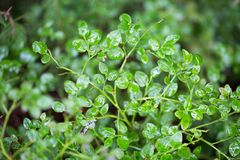 Little green wet leaves of wild forest berry Stock Photography