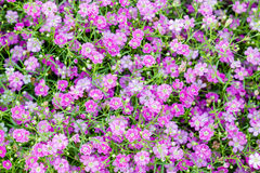 Background of little pink flowers Royalty Free Stock Image