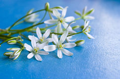 Background with little white flowers on cobalt blue painted wooden board. Delicate wildflowers on blue wooden background. Background with little white flowers on Royalty Free Stock Image